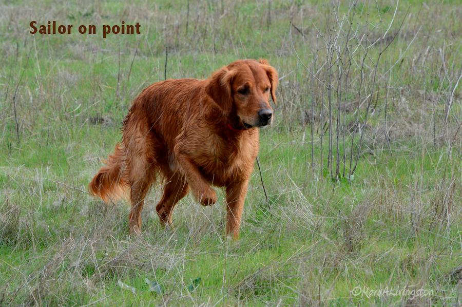 Pointing Goldens Redtail Golden Retrievers