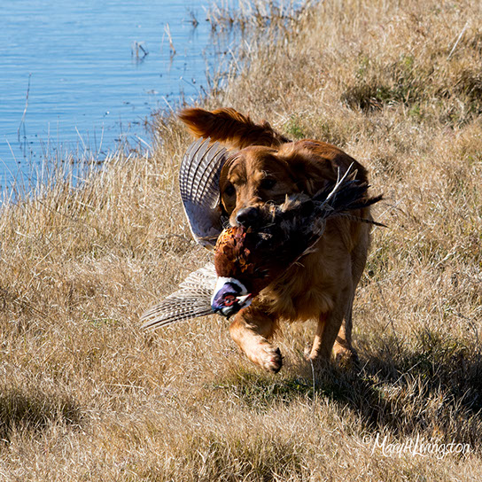 REDTAIL Golden Retrievers- Redtail Golden Retrievers